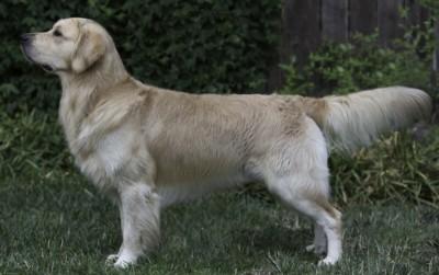 Wynsok Golden Retrievers & Pugs - Chico, California